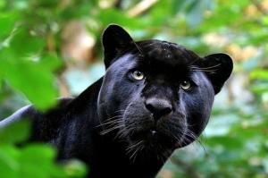 black-jaguar